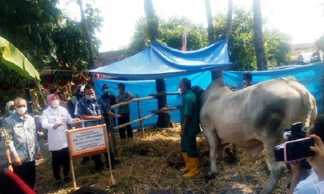 Warga Jarang Makan Daging, Presiden Kirim Sapi Kurban ke Karanganyar
