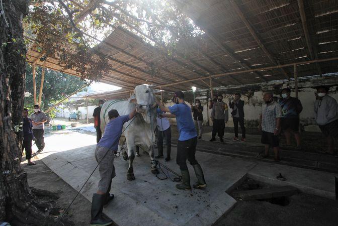 Pemkot Solo Sumbang 7 Ekor Sapi Kurban Pakai APBD, Dibagikan Ke Mana Saja?